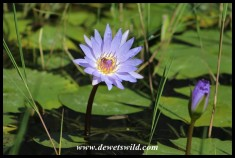 Beautiful Blue Waterlily