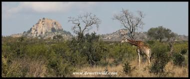 Scenery near Pretoriuskop, complete with a giraffe