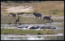 Animals congregating at Transport Dam
