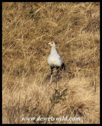 Secretary Bird on the Kamberg Road