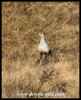 Secretary Bird on the Kamberg Road