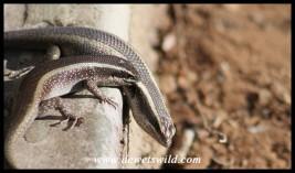 Striped Skink courtship