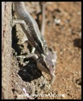 Striped Skink courtship