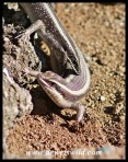 Striped Skinks courtship