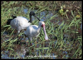 African Spoonbill (with a Sacred Ibis just behind)