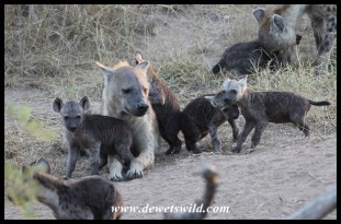 Rambunctious Spotted Hyena cubs