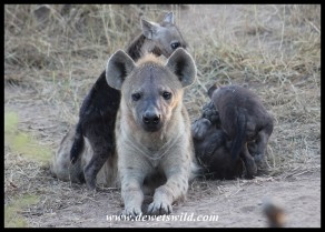 Spotted Hyena mothers apparently make great jungle gyms!