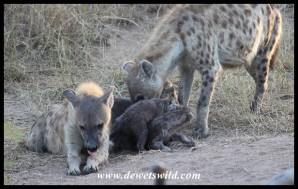 One of the Spotted Hyena moms trying to restore peace. The other has seemingly given up!