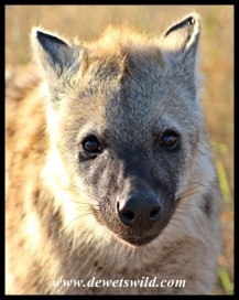 Alert Spotted Hyena youngster