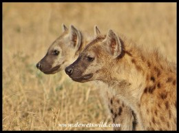 Spotted Hyenas in profile