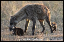 Spotted Hyena trying to discipline one of her cubs