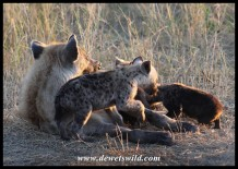 Running around your aunt while your smaller cousins are trying to suckle is great fun apparently in Spotted Hyena families