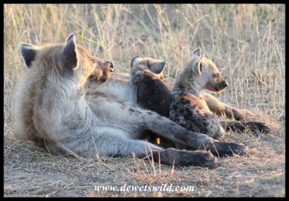 Spotted Hyena cubs and mother