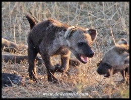 Spotted Hyena youngster bullying a sibling