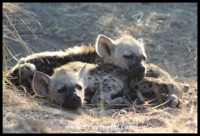 Tired Spotted Hyena cubs - aren't they sweet!?