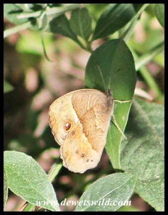Squinting Bush Brown