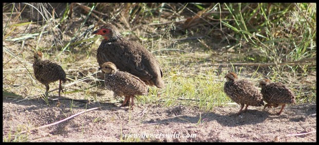 Swainson's Spurfowl hen with her brood