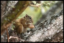 Tree Squirrel (Photo by Joubert)