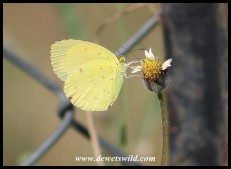Lowveld Grass Yellow