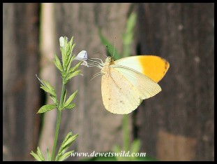 Sulphur Orange Tip