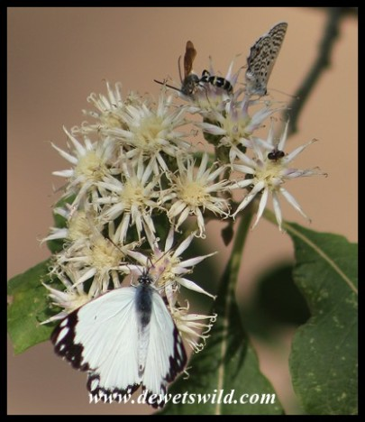 African Common White sharing a flower head with one of the Blue butterflies, a wasp and another tiny insect