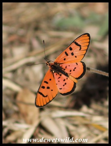 Light Red Acraea
