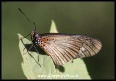 Dusky Acraea (butterfly)