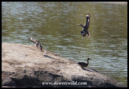 "Fulvous Whistling Duck ""ducks"" as two Water Thick-knees come in to land at Transport Dam"