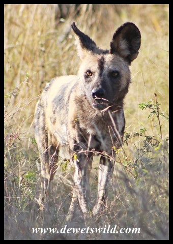 African Wild Dog, or Painted Wolf, on the lookout for prey