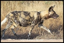 Heavily pregnant female African Wild Dog