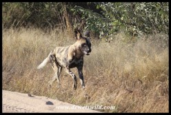 African Wild Dog on the run