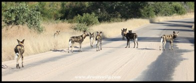 Pack of Painted Wolves, or African Wild Dogs, near Skukuza