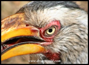 Close-up Yellow-billed Hornbill (Photo by Joubert)