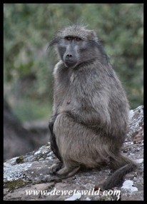 Baboons are probably the most easily seen mammal in Giant's Castle, as they move through the Rest Camp daily