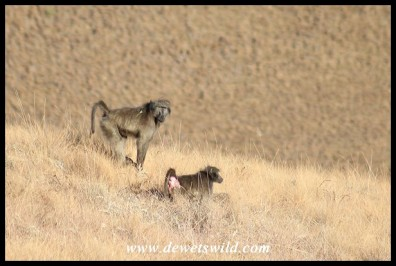 A pair of mating baboons high in the mountains