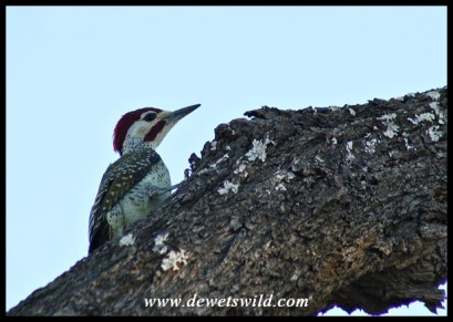 Bennett's Woodpecker (male)