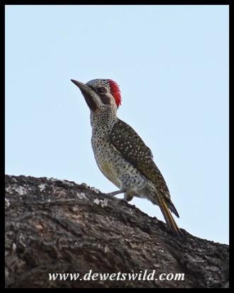 Bennett's Woodpecker (female)