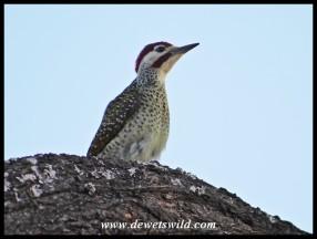 Bennett's Woodpecker (male)