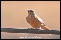 Cape Rock Thrush (female)