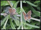 Geranium Bronze butterflies