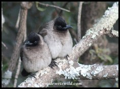 Dark-capped Bulbuls