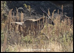 Eland on the run along the Bushmans River