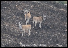 Eland were the main reason the Giant's Castle reserve was proclaimed