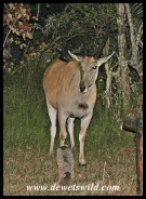 At night, Eland often shelter in the camp