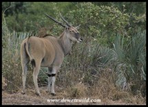 We found this Eland near the Mphongolo River