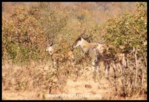 Eland in the mopane bush