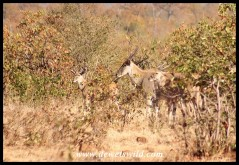Eland in the mopane bush