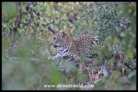Beautiful leopard encountered near Red Rocks
