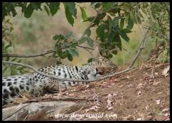 Catnapping leopard near Punda Maria