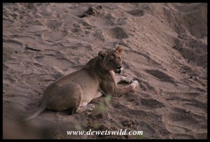 Lioness in the early morning twilight, just a stone's throw from Shingwedzi's gate